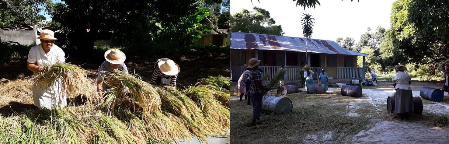 Les récoltes de riz à Madagascar